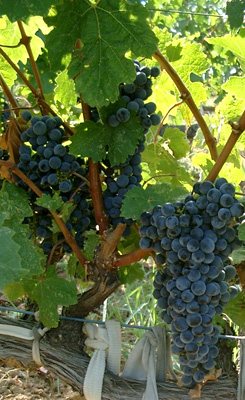 viticulture in australia Find vineyard equipment for sale at trade farm machinery 2018 field day calendar viticulture sub type vineyard equipment listing type new used demo advertiser type new & used vineyard equipment for sale in australia.